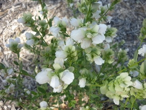 Prostanthera Stratiflora - Striped Mint Bush - Arrwatnurlke  Banner .2